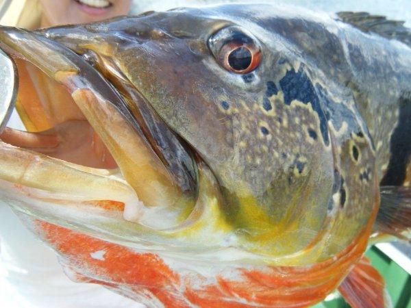 Pesca de Tucunaré Em Barcelos no Rio Negro e Afluentes na Amazônia