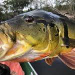 Pesca Esportiva de Tucunaré na Amazônia